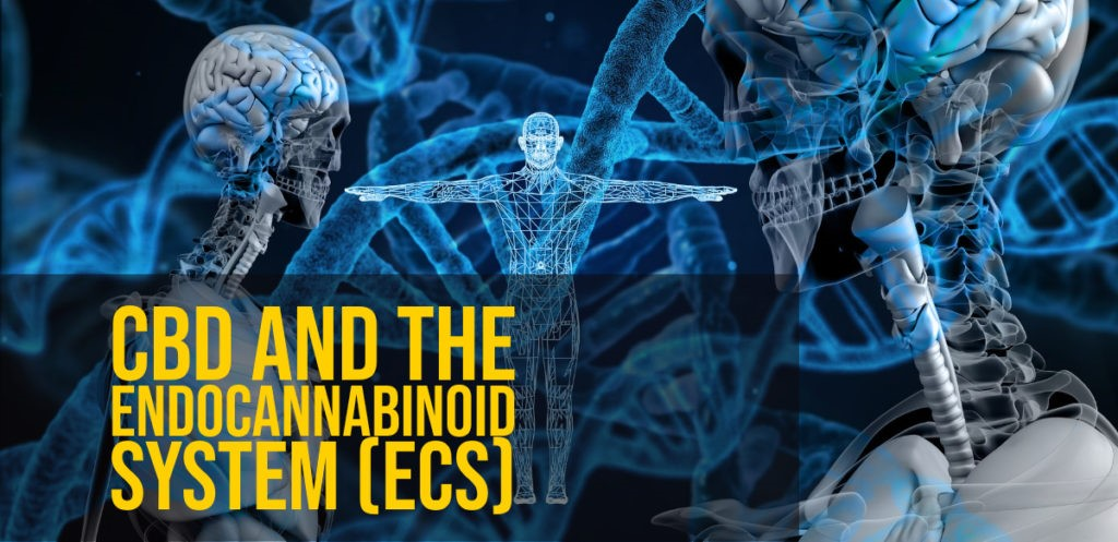 cbd and the endocannabinoid system (ECS)