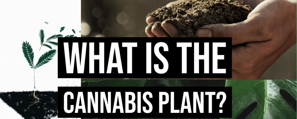 what is the cannabis plant?